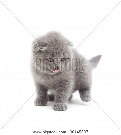 Funny British Lop-eared Kitten