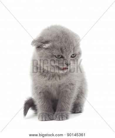 Angry Lop-eared British Kitten