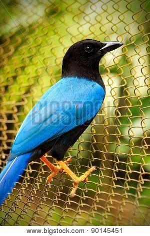 Yucatan Jay Bird
