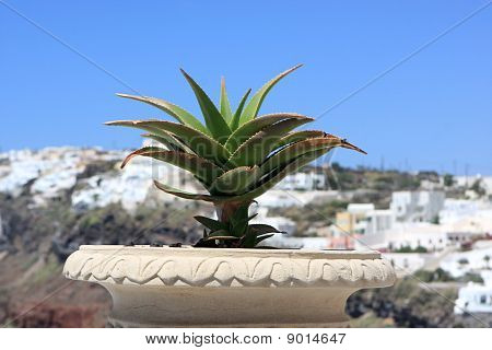 Cactus On Street Of Fira