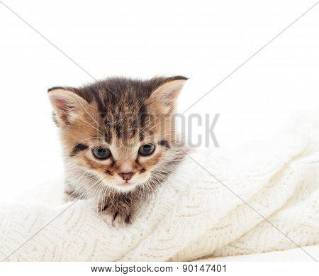Curious Tabby Kitten