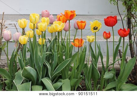 Tulips in the rose bed