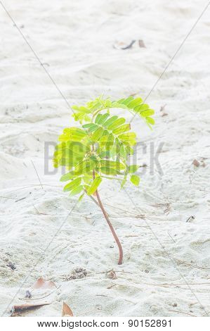 Small Tamarind Tree Growing On White Sand
