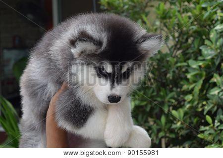beautiful Siberian Husky puppy dog