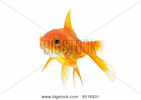 Goldfish Closeup Isolated On White