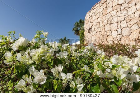 White bougainvillea, Sharm el Sheikh, Egypt.