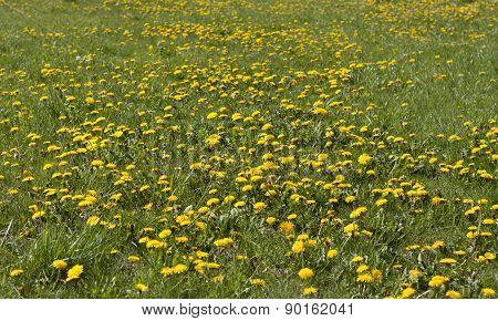 Yellow Dandelion Flowers On Meadow Photo