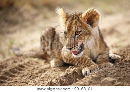Lion cub on sand