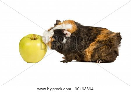 Guinea Pig Eating An Apple