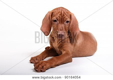 Dog Hungarian Vizsla Pointer