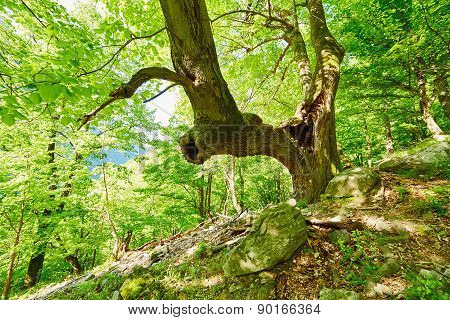 Huge And Old Linden Tree In The Forest