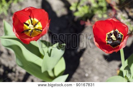 Red Tulips Bloom