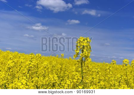 Yellow Rape Field With Blue Sky