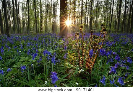 Fern And Bluebells In Forest At Sunrise