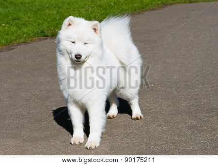 Samoyed modesty.