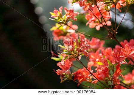 Royal Azalea In Buddhist Temple