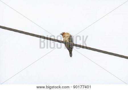 Sparrow On A Wire, Isolated On White
