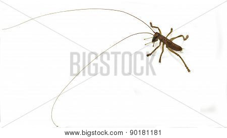 Cricket insect with long feelers
