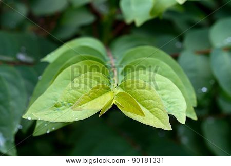 Close Up Star Gooseberry Leaf : Growth Concept.
