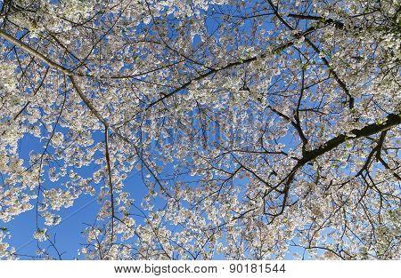 Cherry Blossom Tree Canopy