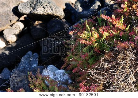Flora Of Lanzarote Island, Canary Islands, Spain