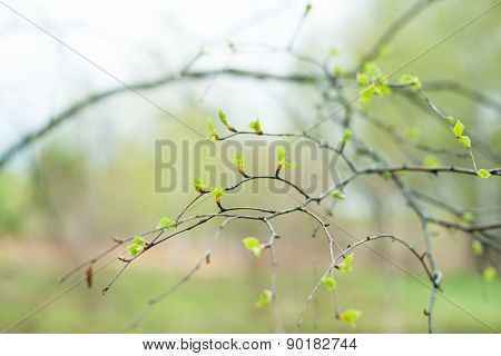 Green new buds on branch in spring season