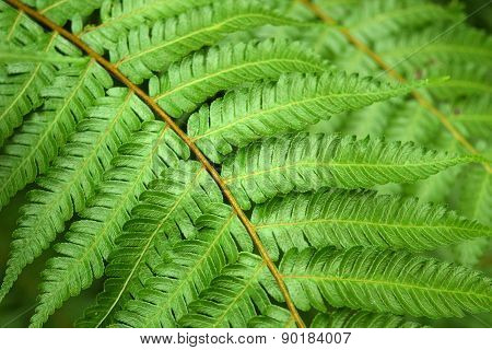 Beautyful leaf of fern (Cyathea lepifera) is close-up background