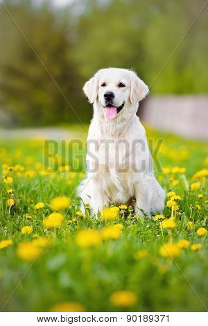 golden retriever dog on dandelions field