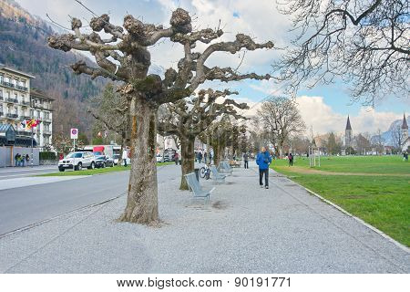 Sprouting Planetree In Interlaken, Switzerland