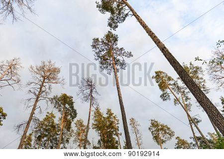 Spring Morning In The Pine Forest