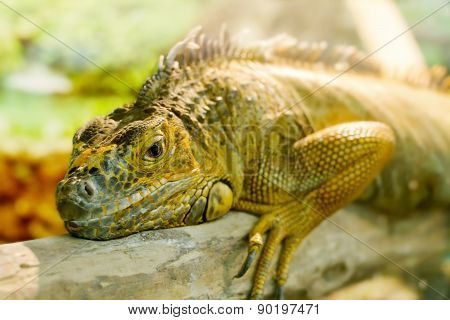 Iguanas Who Sleeps On A Thick Branch