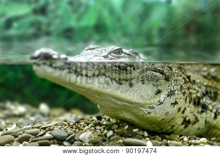 Young Crocodile Staring Out Of The Water