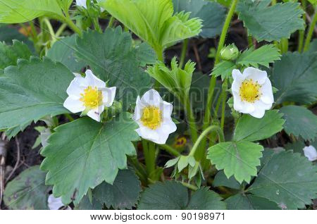 Strawberries in the flowering period