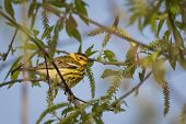 image of west indies  - The colorful Cape May Warbler breeds from southwestern Northwest Territories Manitoba Ontario and Quebec south to North Dakota Michigan northern New York Maine and Nova Scotia - JPG