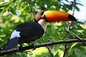 stock photo of toucan  - Nature of Brazil - JPG