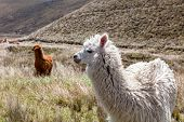 picture of andes  - Llamas - JPG
