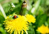 picture of ladybug  - Yellow dandelion and red ladybug on a grass background in spring - JPG