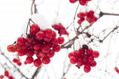 stock photo of rowan berry  - Red rowan mountain ash berries with fresh snow winter background - JPG