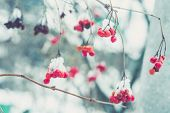 foto of rowan berry  - Red rowan mountain ash berries with fresh snow vintage photo effect - JPG