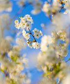 stock photo of cherry trees  - Beautiful blooming cherry tree in springtime - JPG