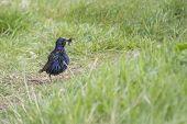 picture of mockingbird  - Starling  - JPG
