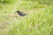 stock photo of mockingbird  - Starling  - JPG