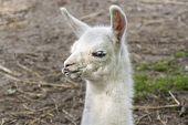 image of lamas  - Full white llama  - JPG