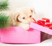 stock photo of christmas puppy  - Puppy gnaws near the Christmas tree gift box - JPG