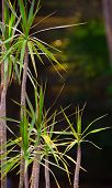 picture of spike  - A photograph of a dracaena plant with its small trunk and spiked leaves - JPG