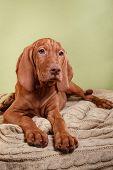 picture of hungarian  - Dog Hungarian Vizsla pointer puppy Brown dog - JPG