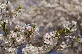 picture of cherries  - Cherry blossoms in the spring with a closeup to the flowers and other cherry blossoms can be seen in the background - JPG