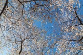 foto of canopy  - Low angle view of a Cherry Blossom tree canopy - JPG