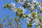 picture of cherry  - Sprig with flowers cherry - JPG