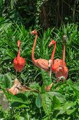 image of flamingo  - Flock of Pink Caribbean flamingos amongs green shrubs - JPG